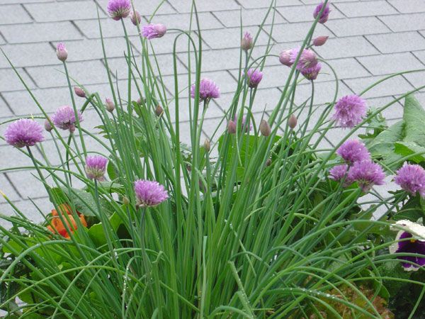 I need to order chive seeds and scatter them around the garden - chives are beautiful, tasty, and the best thing??? They are aggressive self-sowers. Love it!