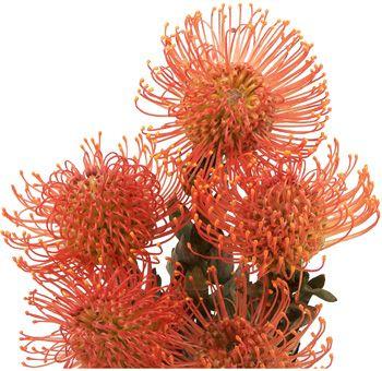 Protea Pin Cushion Orange Flower | Bulk Protea Pincushion At Wholesale Prices