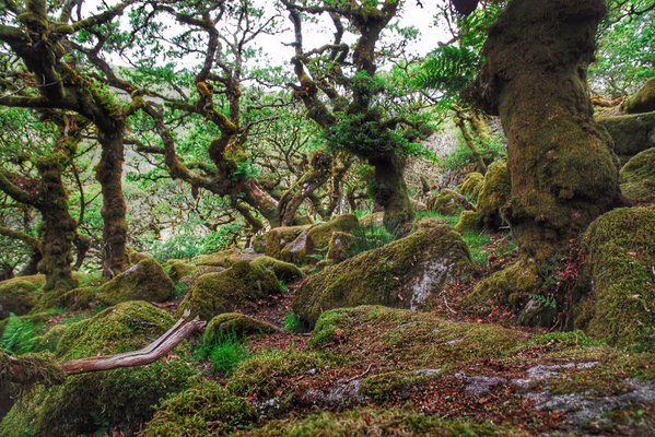 Wistman's wood #Dartmoor, ancient oak woodland