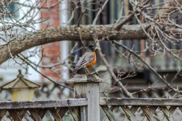 Photos from the Chair — American Robin