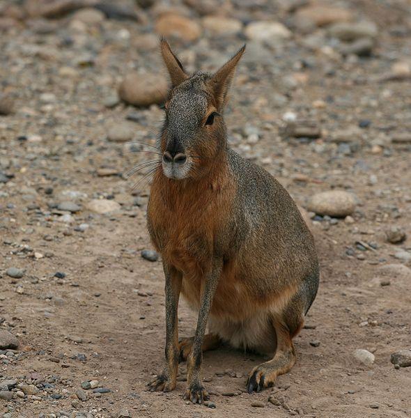Mara Dolichotis patagonum