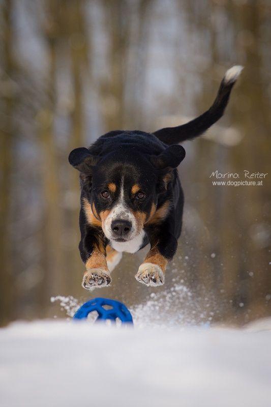 I`m flying - Entlebucher Sennenhund