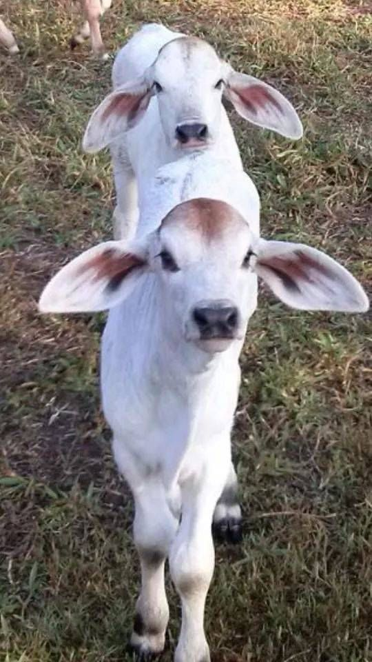 Polled Brahman's cutest calves in all of cattle breeds
