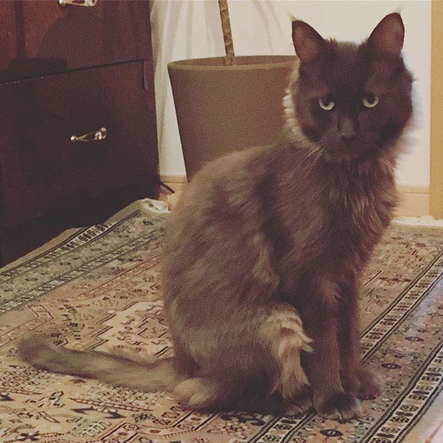 カット行く前の 🦁メルあきさん🦁 . . わかってるみたいで…… 眼つき悪🙅🏻w 数時間後は2枚目に......www . . #cat  #ネコ  #猫  #ねこ  #愛猫  #4歳女の子 👱🏻♀️ . . 振る舞いがとっても #lady 👱🏻♀️w . . けど、走り方が #ゴリラ 走り😐 #メインクーン 🦁 . . いつもありがとうございます😊✨👏感謝👏✨ 謝謝 ーーーーーーーーーーーーーーーーーーーーーーーーー ご予約 092-407-2580 LINEID: iiko7173 wechatID: recloset アクセス:周船寺駅より徒歩1分 営業時間:9:00~21:00(最終受付時間20:30)  ネイルスタッフ:1名 まつ毛スタッフ:1名 ベッド総数:1台 癒しの#プライベートサロン です(^_^) English reserve OK (^_^) 中文可以噢👀 福岡市では珍しい英語と中國語対応可!  #福岡県 #福岡市早良区 #西区 #姪浜  #九大学研都市 #周船寺 #糸島 エリア  #口コミ で人気の#ネイル…