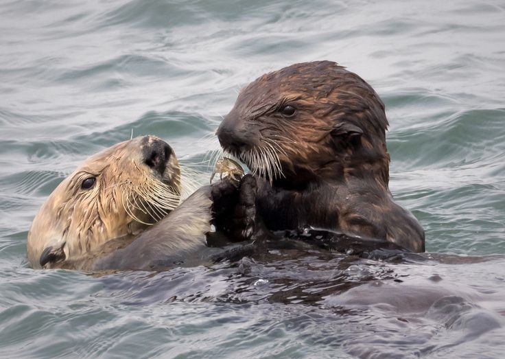 I photographed this mother California sea otter ( Enhydra lutris nereis)  who was helping her pup forage and feed. They were diving in the flowing tide, for mollusks mostly.   The little one would often come up empty-pawed, or with something inedible, while mom always popped to the surface with paws full of mussels or clams. After every pass, the youngster would sidle up to mom, as pictured here, while she shared bits of food.   She also created a safe buffer zone, chasing off other otters…