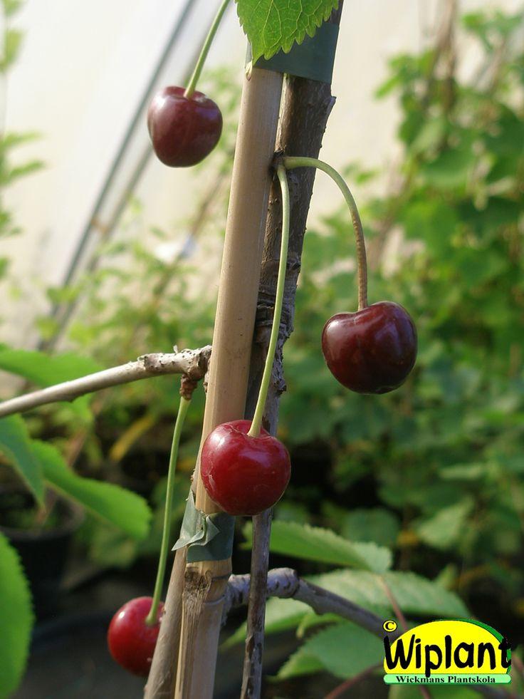 Prunus avium 'Leningradin Musta', Sötkörsbär. Medelstora, söta, mörkröda bär.  Mognar i mitten på juli.  Kanske den vinterhärdigaste bigaråsorten i Finland.  Zon II-III?