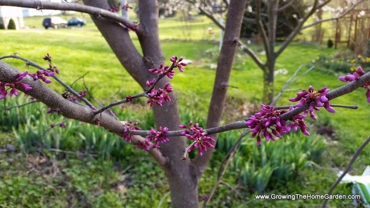 Spring blooming trees: redbuds in the home garden.  #spring #blooms #trees