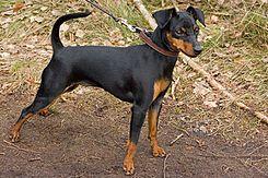 El pinscher miniatura es una raza de perro de la familia de los Pinschers originaria de Alemania, donde son llamados zwergpinscher. Se trata de una miniaturización del Pinscher Alemán