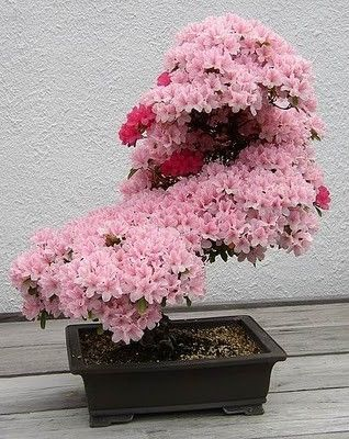 Blooming Bonzai: Cherries Blossoms, Gardens Ideas, Pink Flower, Bonsai Trees, Cherries Trees, Beautiful, Plants, Bonsaitrees, Full Bloom