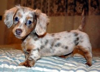 Chocolate dapple long haired dachshund - adorable baby