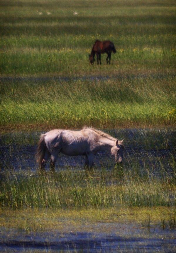 Le Cheval du Delta du Danube - Le  Cheval du Delta du Danube en liberté