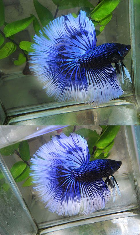 Orchid black blue butterfly fancy bettas pinterest for Best place to buy betta fish