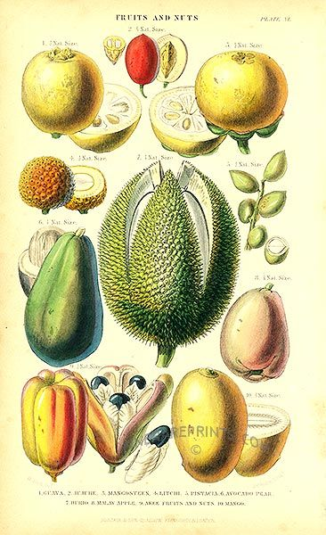 Antique print: picture of Tropical Fruit - Guava, Mango, Mangosteen, Lychee, Pistachio, Avocado,durian,