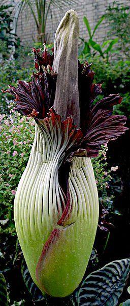 L'Arum titan (Amorphophallus titanum) : c'est la plus grande fleur du monde (plus de deux mètres de haut).