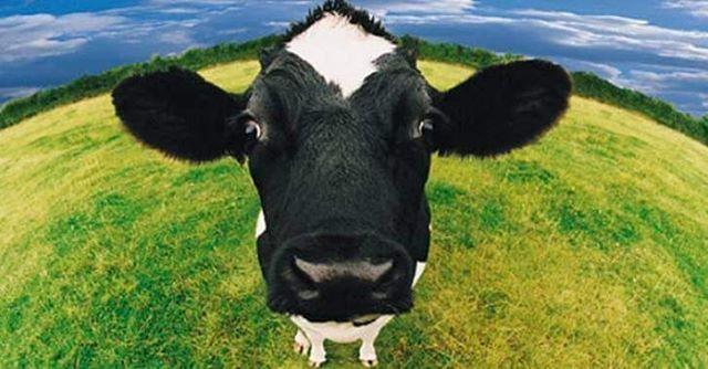 مليون بقرة هولندية تجعل من هولندا واحدة من أكبر منتجي الجبن والألبان في العالم بينما يوجد في السودان 30 مليون بقرة و40 مليو Bovine Health Benefits Best Detox