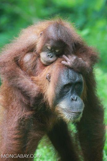 Mama Orangutan Carrying Baby