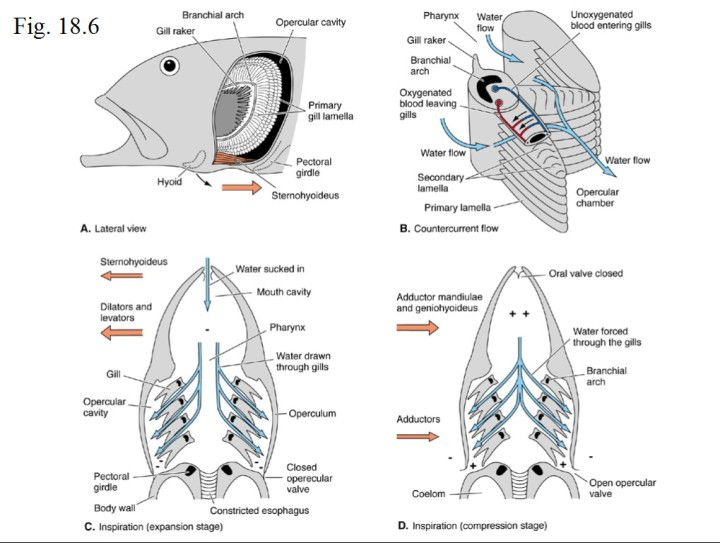 countercurrent gas exchange in fish gills