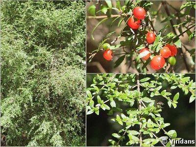 Prickly Currant Bush - Coprosma Quadrifida http://www.surfcoast.vic.gov.au/files/e259224b-edc2-4d8e-9664-9f3d01059811/822avdn.jpg