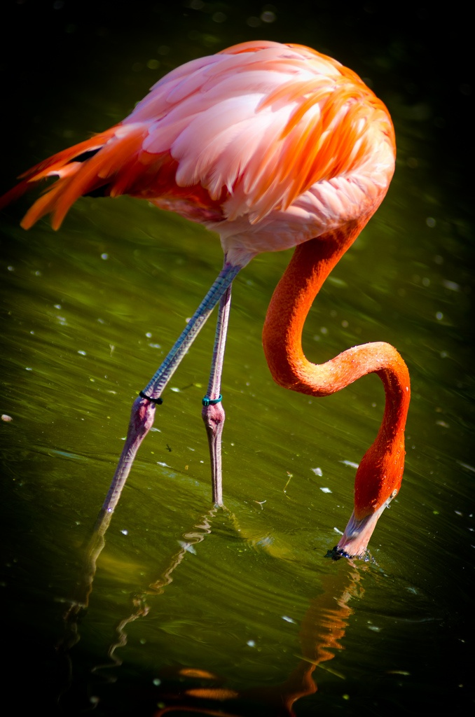 17 best images about flamingo photos paintings on for Flamingo feather paint