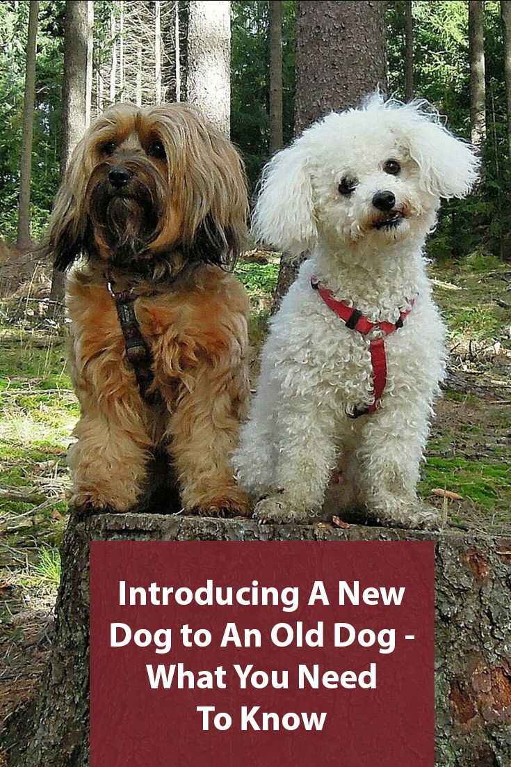 How To An Introduce A New Dog To An Old Dog Introducing A New Dog Dogs Old Dogs