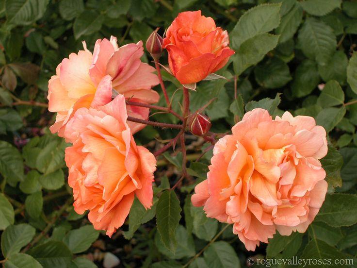 Westerland Shade tolerant plants, Orange roses, Climbing