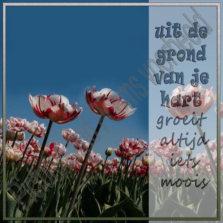 Foto 53, Uit de grond van je hart. Tulpenvelden nabij Alkmaar. In alle kleuren waren er prachtige tulpen.