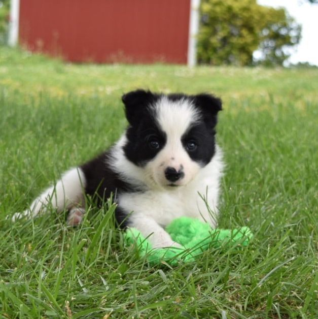 Shep The Black And White Border Collie Puppy Playing With His