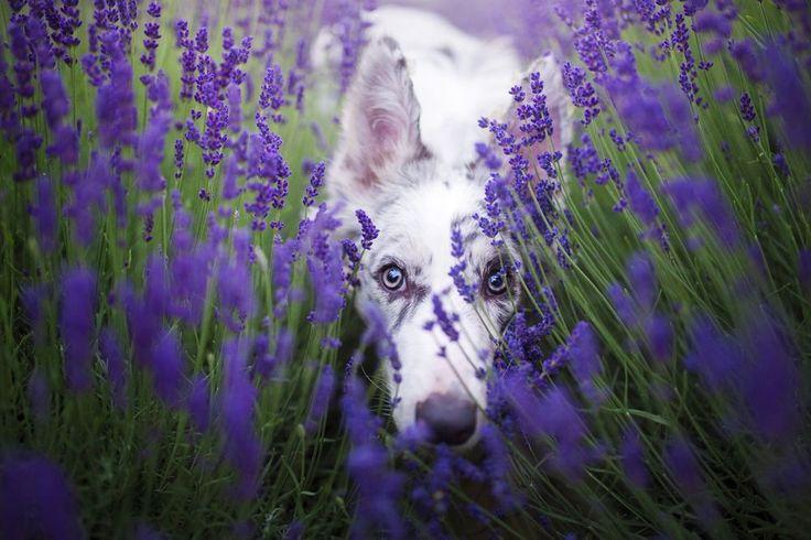 Lavender Dream Photo by Alicja Zmysłowska — National Geographic Your Shot