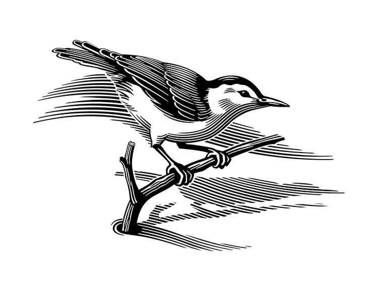 Nuthatch - digital scratchboard illustration by Gary Alphonso.  Represented by i2i Art Inc. #i2iart