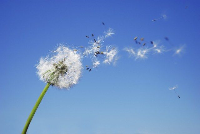 Tuneful Wind What Element Are You I Wish You Enough Dandelion Flower