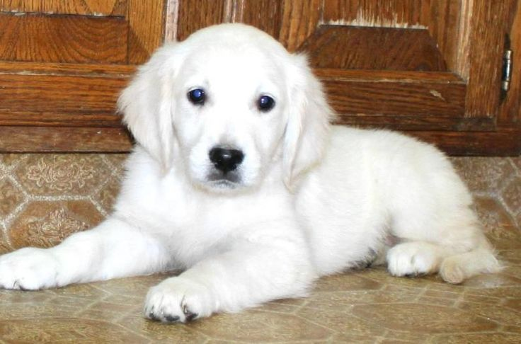 white golden retriever.  I just saw one of these dogs @ Waterfowl Festival & I am hopelessly in love.