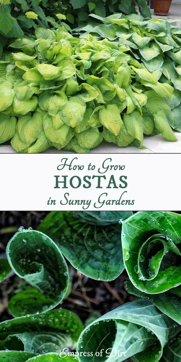 49 Hostas For Sunny Locations Hosta Beautiful Flowers Garden