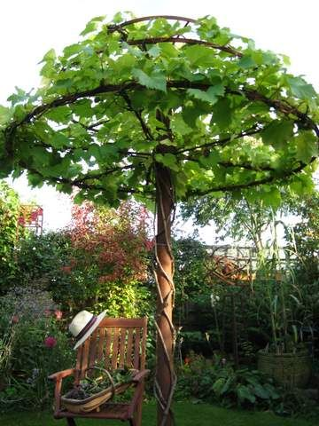Grape vines trained as an umbrella- Love this!  Any climbing vine would look fantastic like this!!!