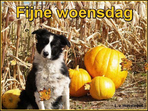fijne woensdag border collie hond tussen herfstbladeren