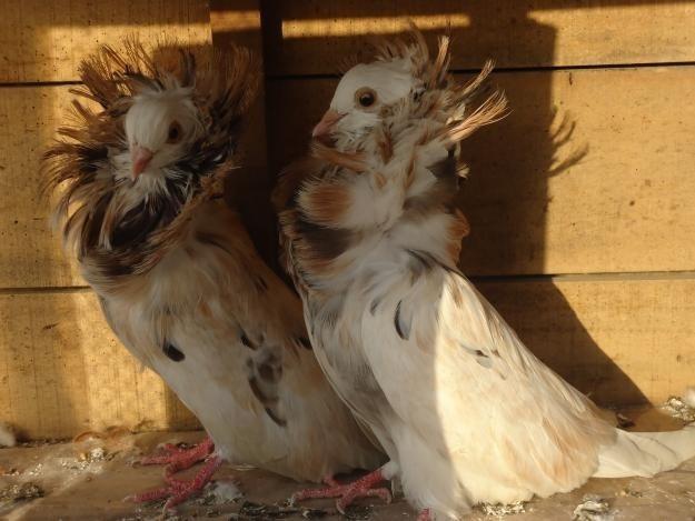 jacobin pigeon - photo #28