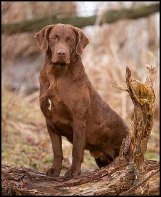 Retriever de Chesapeake