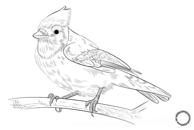 Gambar Mewarnai Burung Blue Jay Untuk Anak Burung Gambar Anak