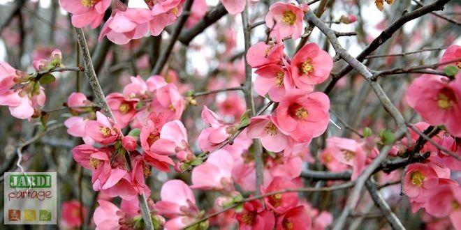 1000 id es sur le th me cognassier sur pinterest arbuste arbres fruitiers et les arbres fruitiers - Quand tailler les arbres et arbustes ...