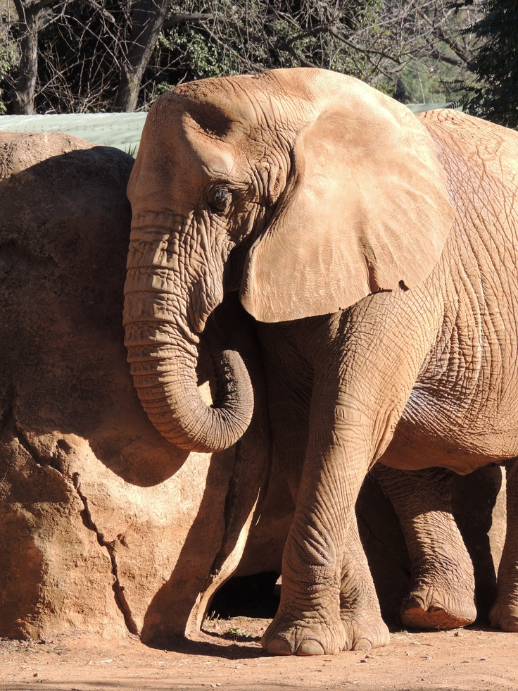Elephant at the Pretoria Zoo...