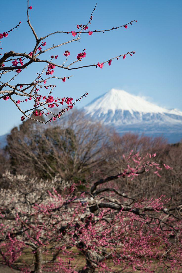 Mt. Fuji and Plum Blossoms, Shizuoka, Japan | Yuga Kurita