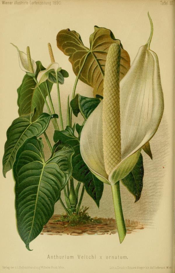 Anthurium Veitchi King Anthurium Illustration Taken From Wiener Illustrirte Garten Zeitung By Kaiserlich K Botanical Illustration Anthurium Illustration