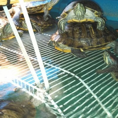 1000 Images About New Turtle Habitat Ideas On Pinterest