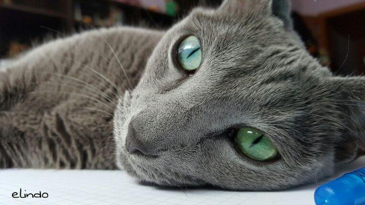 My little #russianblue #cat