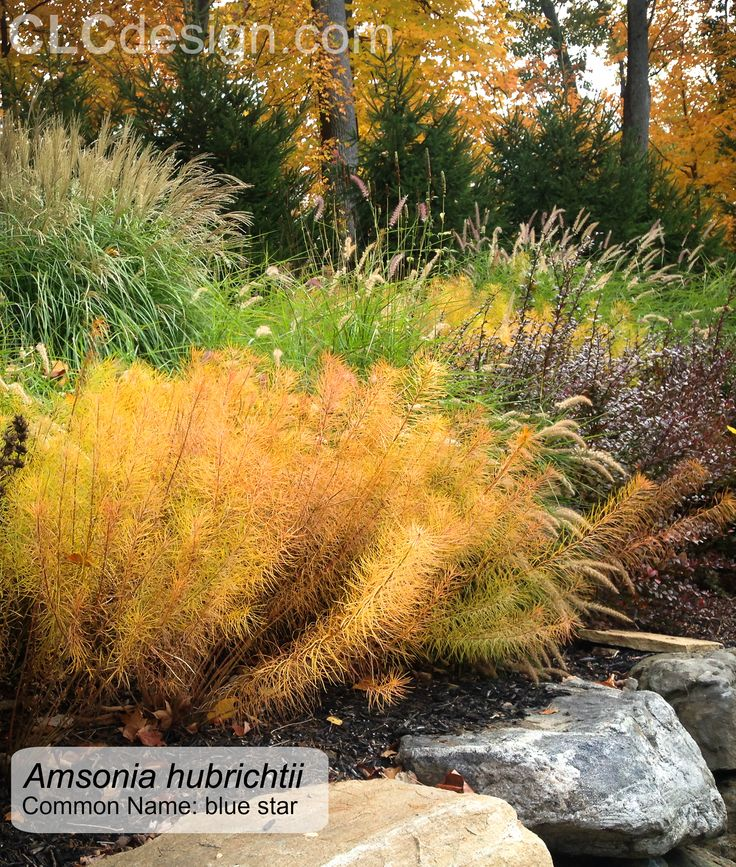 Fall Landscaping Tips 14 best Амсония images on pinterest | perennials, arkansas and