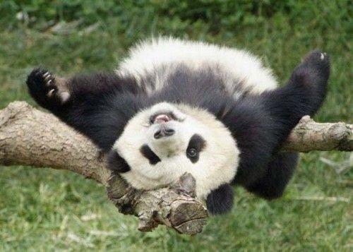 Panda en sus juegos matutinos