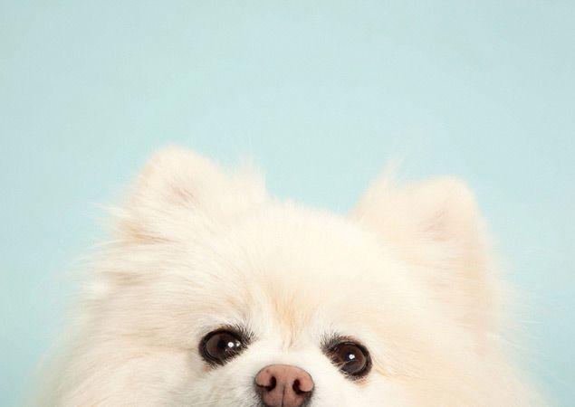Pomeranian. By Sharon Montrose.