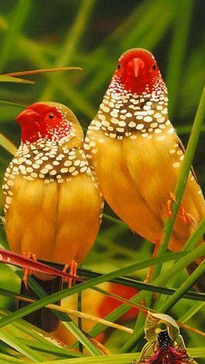 Colorful birds - Australian Star Finches.                              …