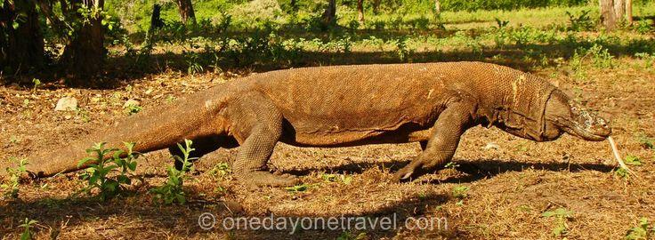 Bienvenue sur les îles de Komodo et de Rinça, le territoire des mythiques dragons de #Komodo. Cette ultime étape est une excursion possible depuis Labuan Bajo ou depuis l'île de Kanawa.