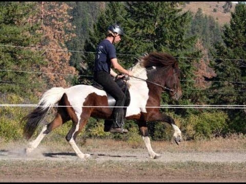 Icelandic Horses For Sale | Icelandic Horses For Sale Alaska | Icelandic...