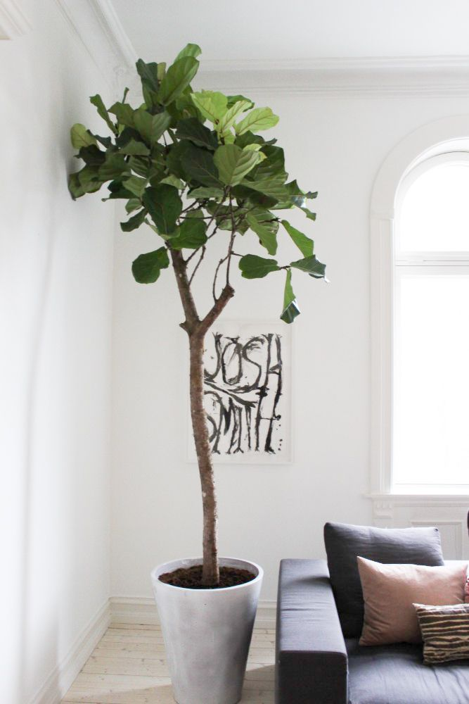 fiddle leaf fig // vanessarudjord.no